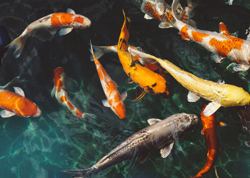 Koi fish price in 2017 pricecapsule for How much does a koi fish cost